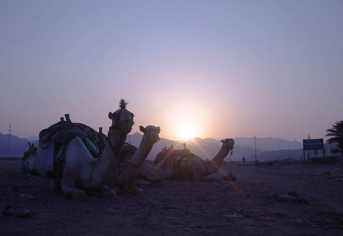 ダハブのラクダ