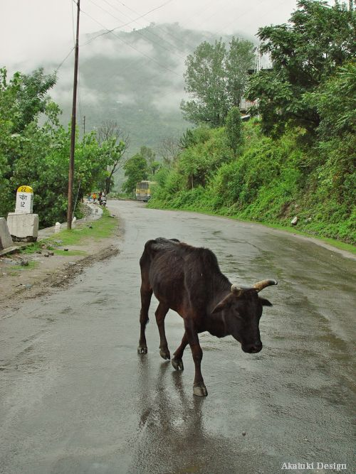 ヒマーチャルの山道と牛