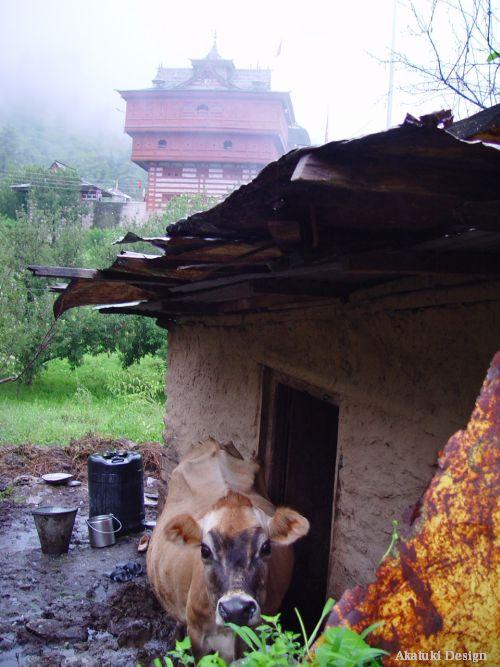 ビーマ・カーリー寺院と牛